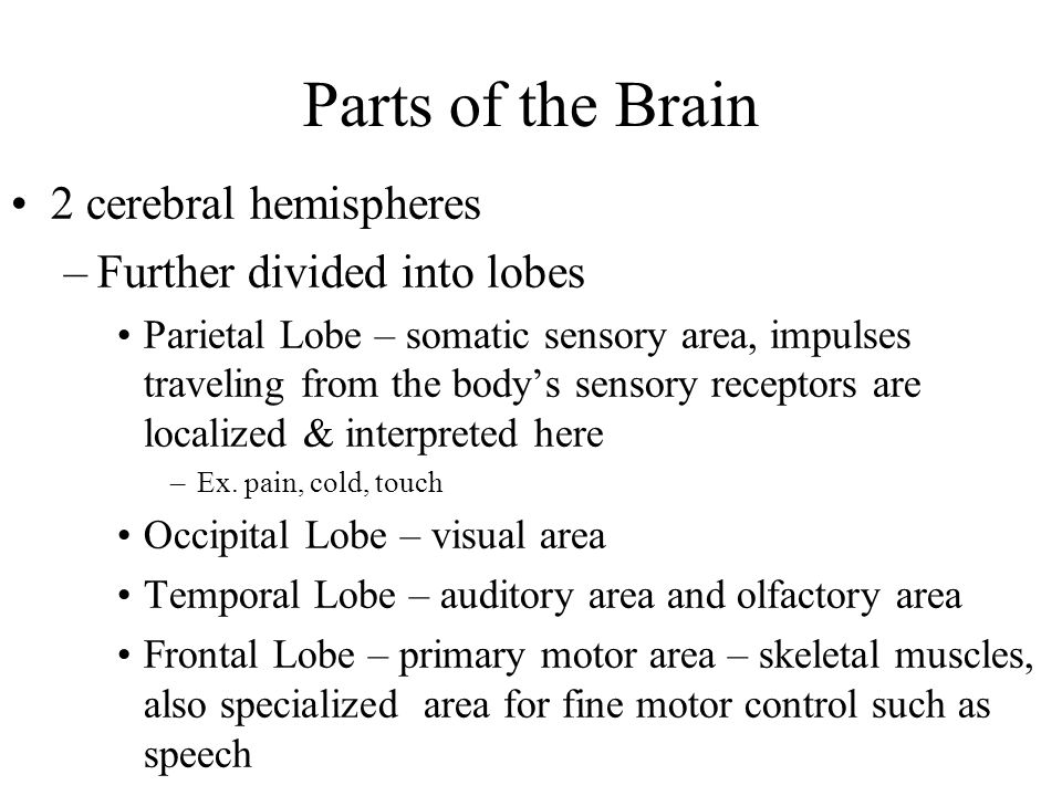 Parts of the Brain 2 cerebral hemispheres Further divided into lobes