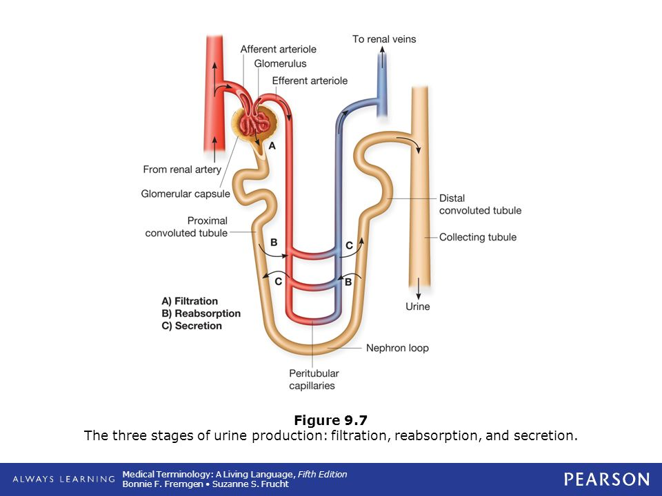 9 Urinary System. - ppt download