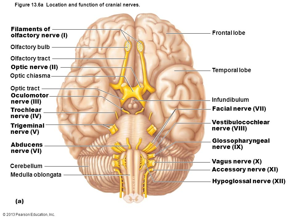 13 The Peripheral Nervous System and Reflex Activity: Part B. - ppt ...