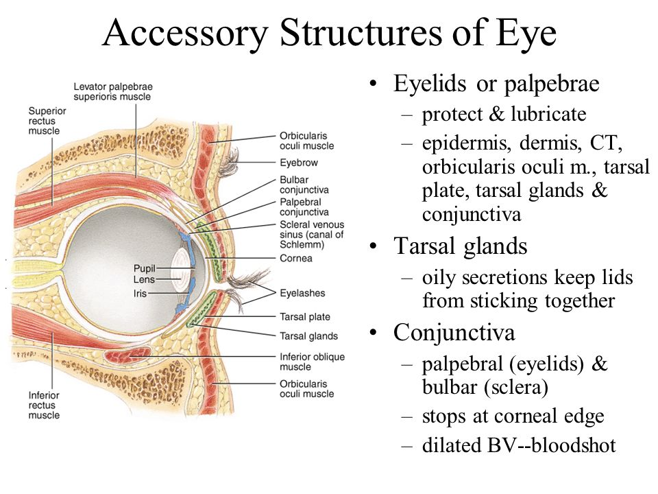 Accessory Structures of Eye