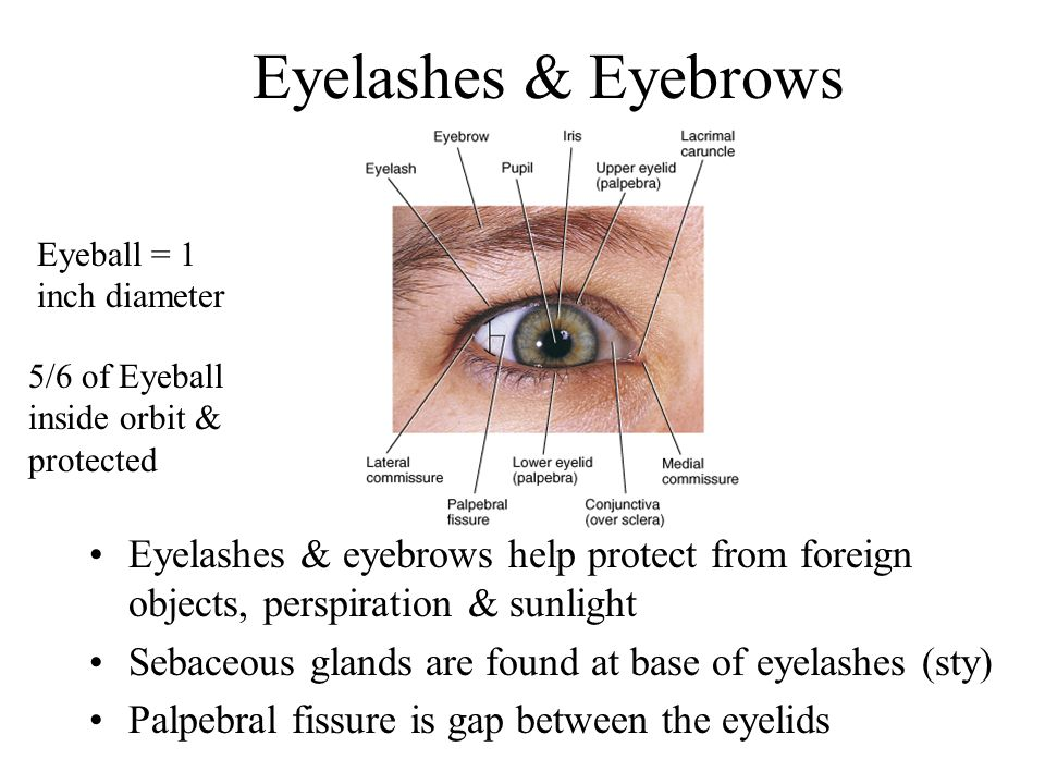 Eyelashes & Eyebrows Eyeball = 1 inch diameter. 5/6 of Eyeball inside orbit & protected.