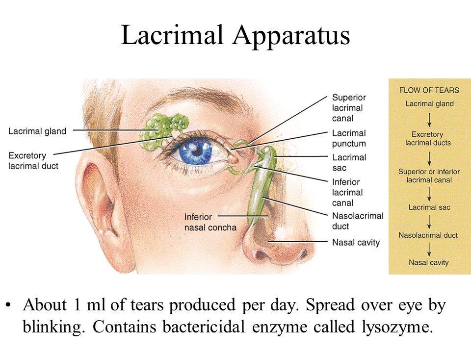 Lacrimal Apparatus About 1 ml of tears produced per day.