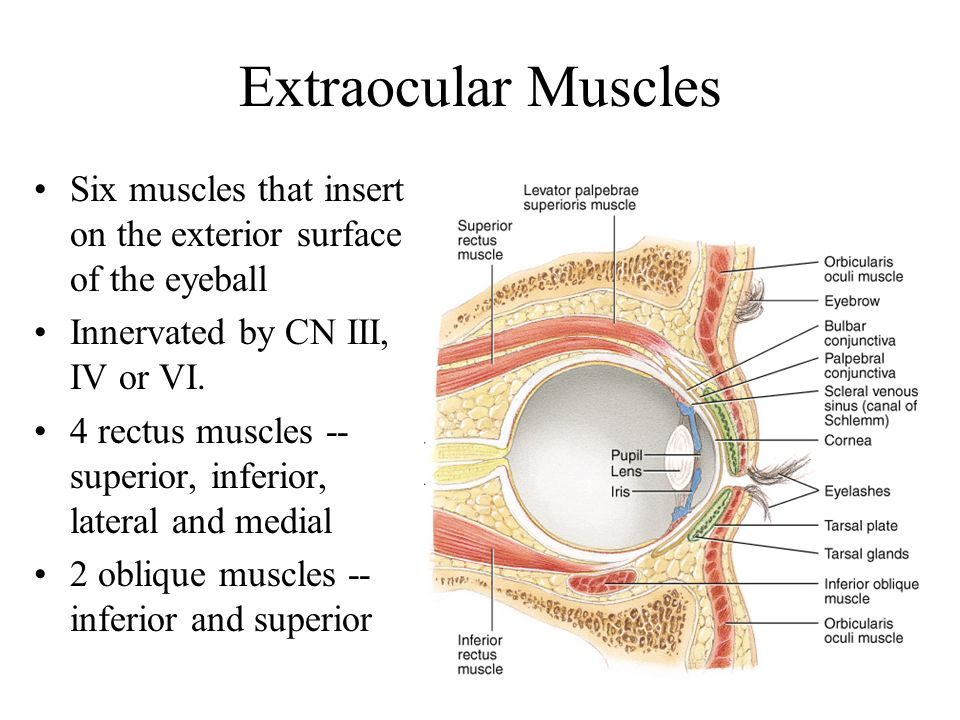 Extraocular Muscles Six muscles that insert on the exterior surface of the eyeball. Innervated by CN III, IV or VI.