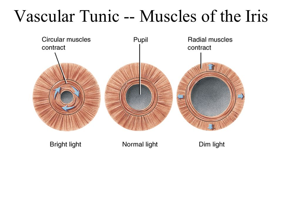 Vascular Tunic -- Muscles of the Iris