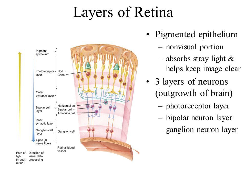 Layers of Retina Pigmented epithelium