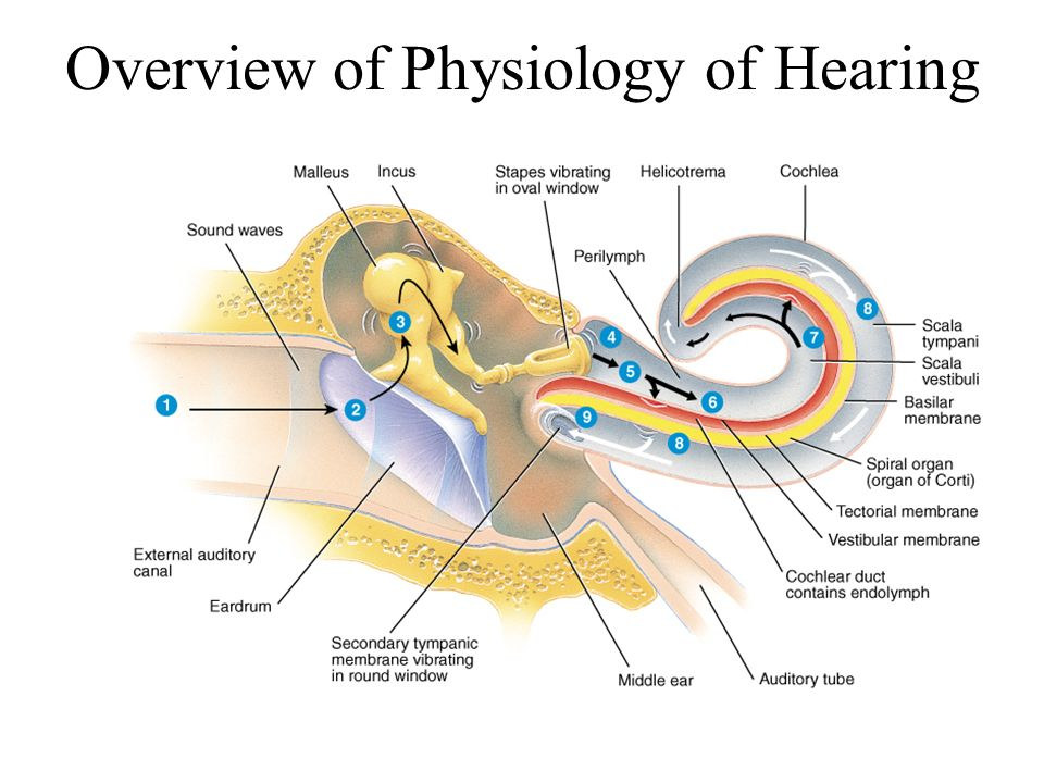 Overview of Physiology of Hearing