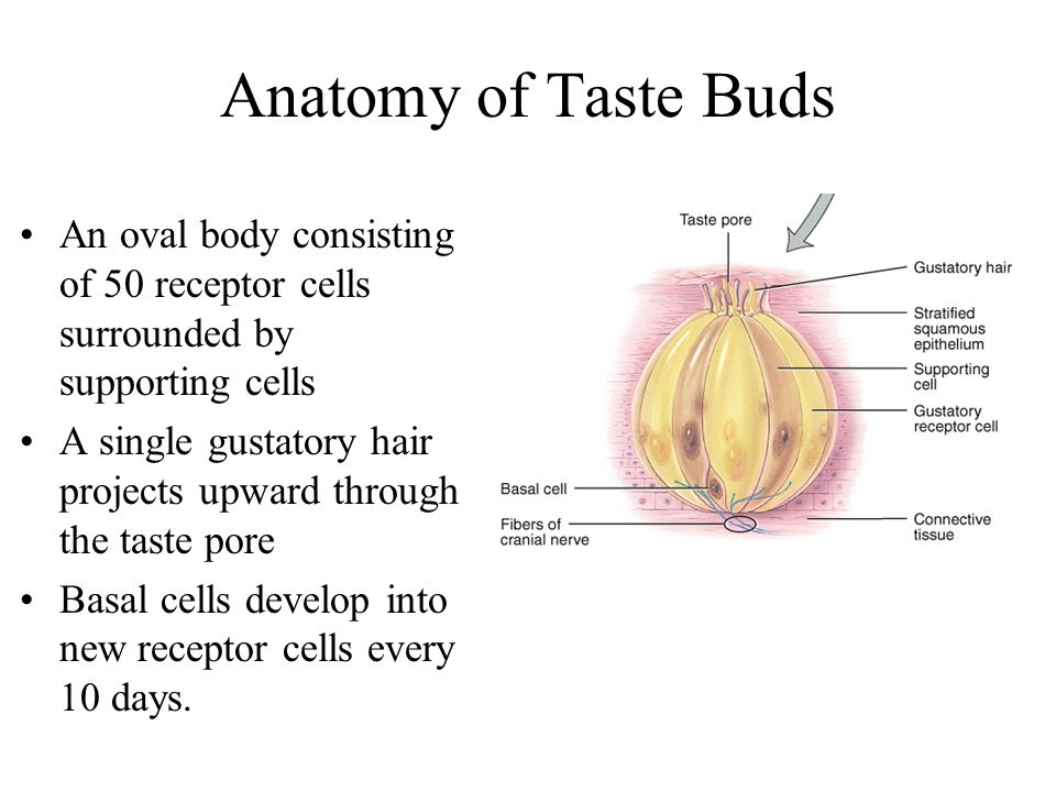 Anatomy of Taste Buds An oval body consisting of 50 receptor cells surrounded by supporting cells.