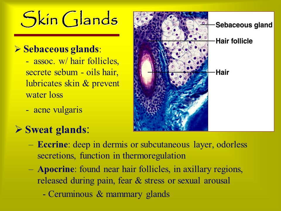 Skin Glands Sweat glands: Sebaceous glands: