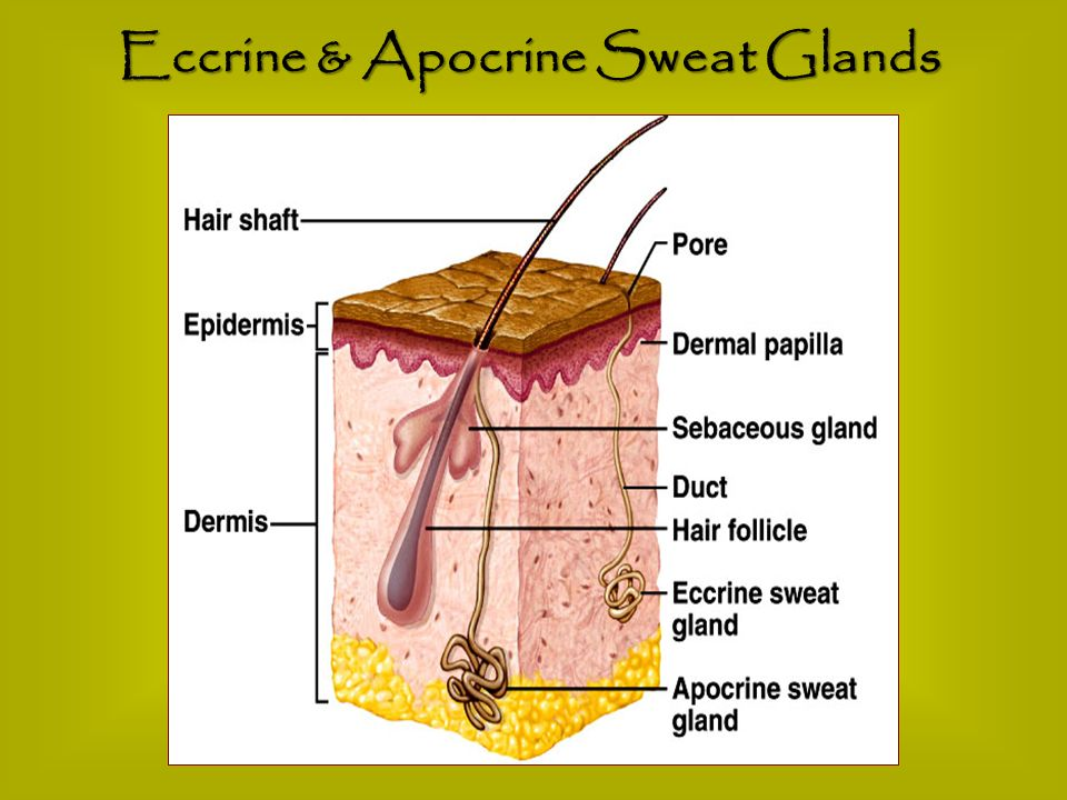 Eccrine & Apocrine Sweat Glands