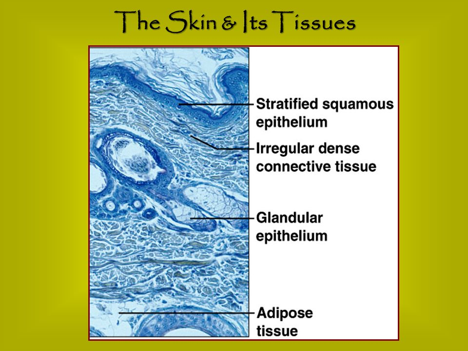 The Skin & Its Tissues