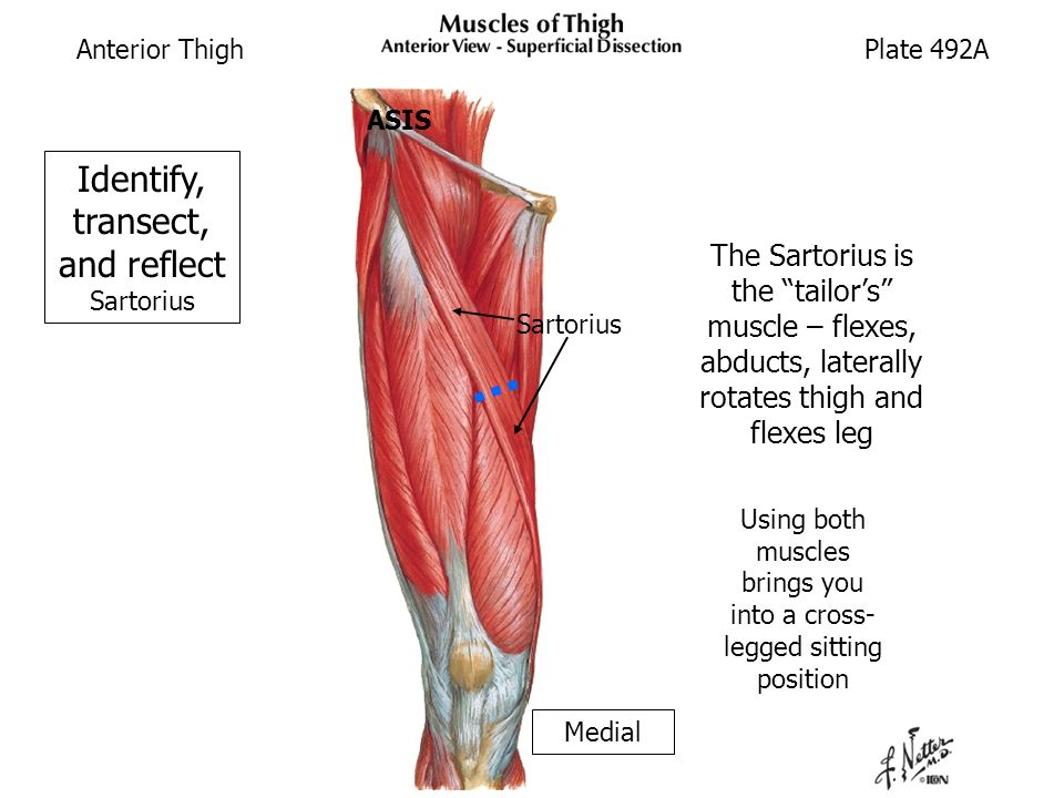 Anterior and Medial Thigh (Cadaver Supine) - ppt video online download