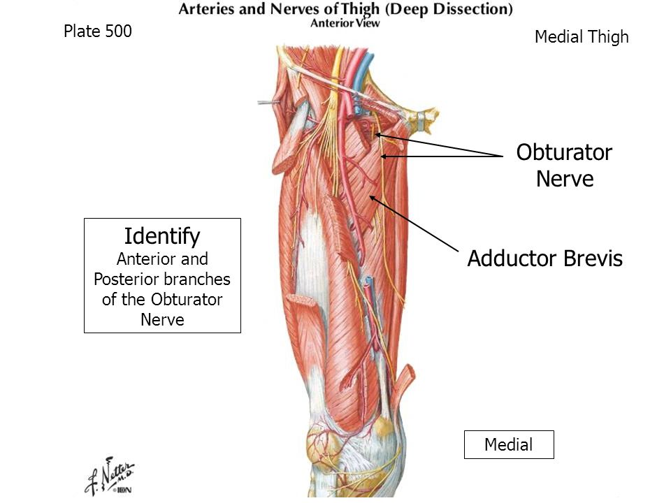 Anterior And Medial Thigh Cadaver Supine Ppt Video Online Download