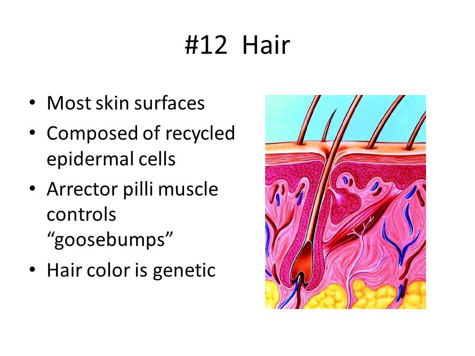 #12 Hair Most skin surfaces Composed of recycled epidermal cells