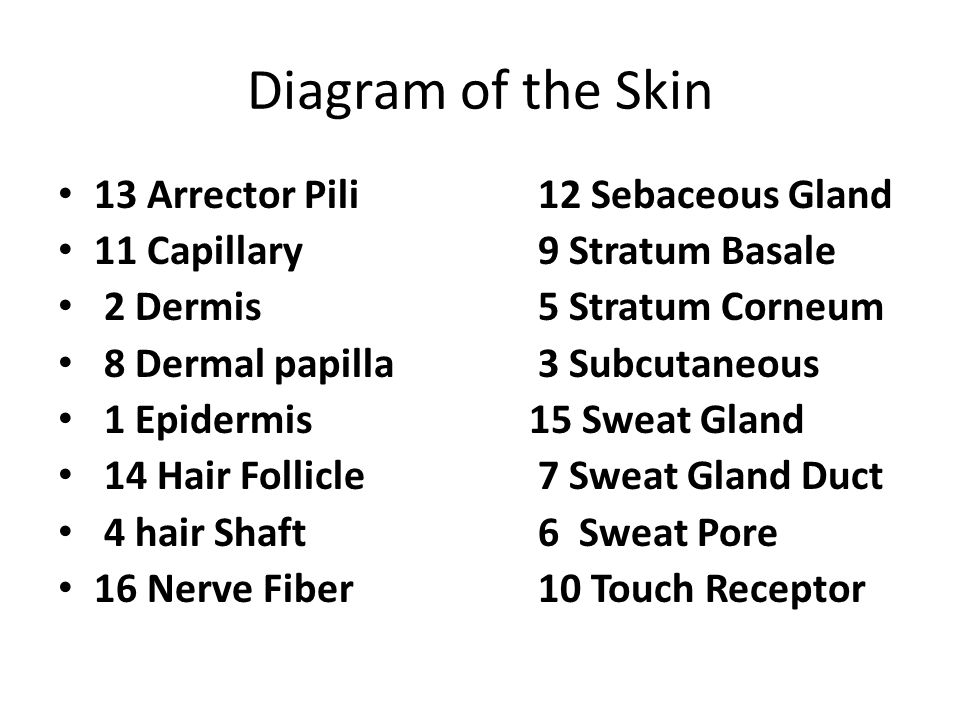 Diagram of the Skin 13 Arrector Pili 12 Sebaceous Gland