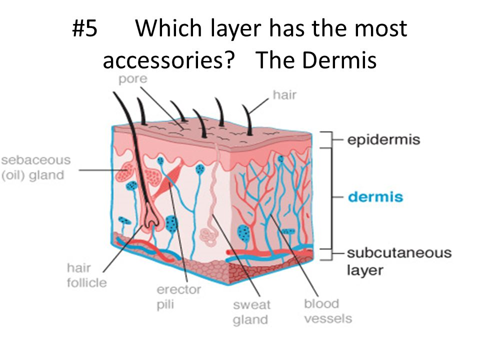 #5 Which layer has the most accessories The Dermis