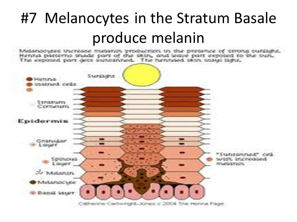 #7 Melanocytes in the Stratum Basale produce melanin