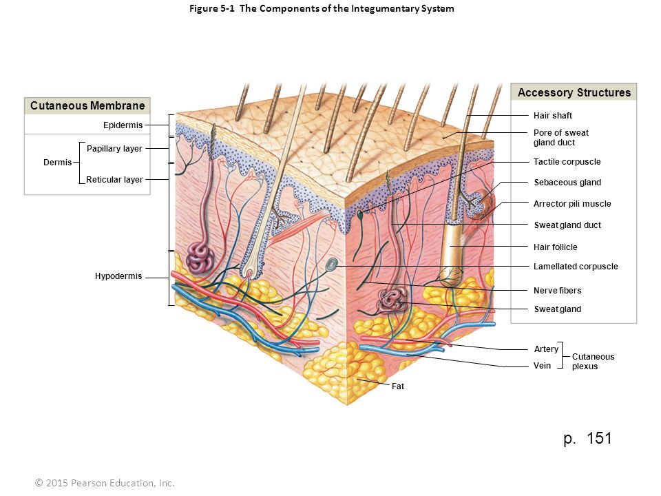 Figure 5-1 The Components of the Integumentary System. - ppt video ...