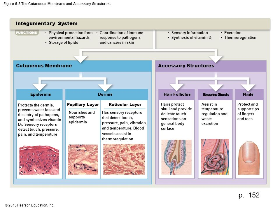 Figure 5 1 The Components Of The Integumentary System Ppt Video