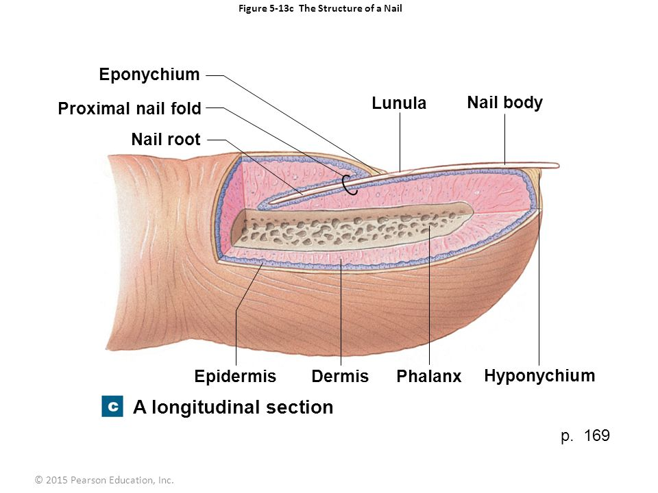 Figure 5 1 The Components Of The Integumentary System