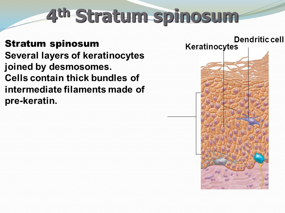 4th Stratum spinosum Dendritic cell. Stratum spinosum Several layers of keratinocytes joined by desmosomes.