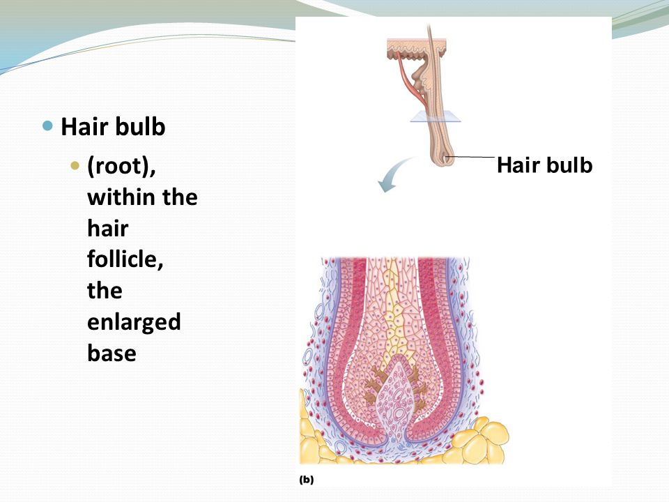 Hair bulb (root), within the hair follicle, the enlarged base