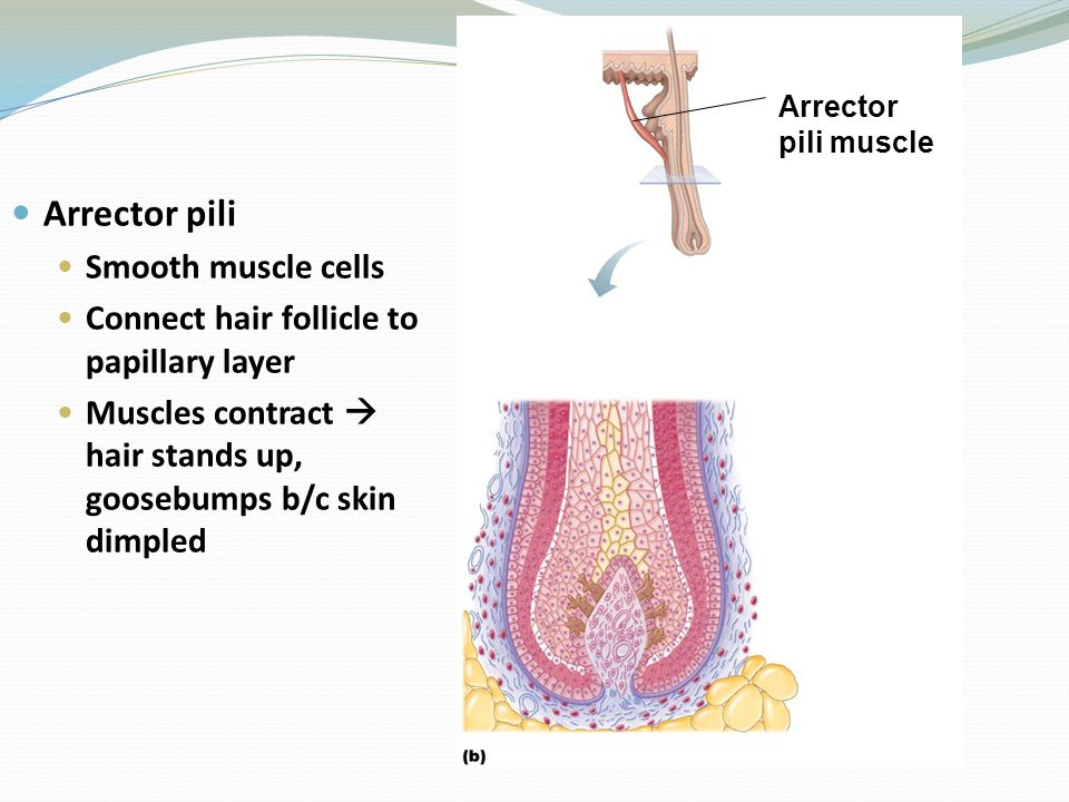 Arrector pili Smooth muscle cells
