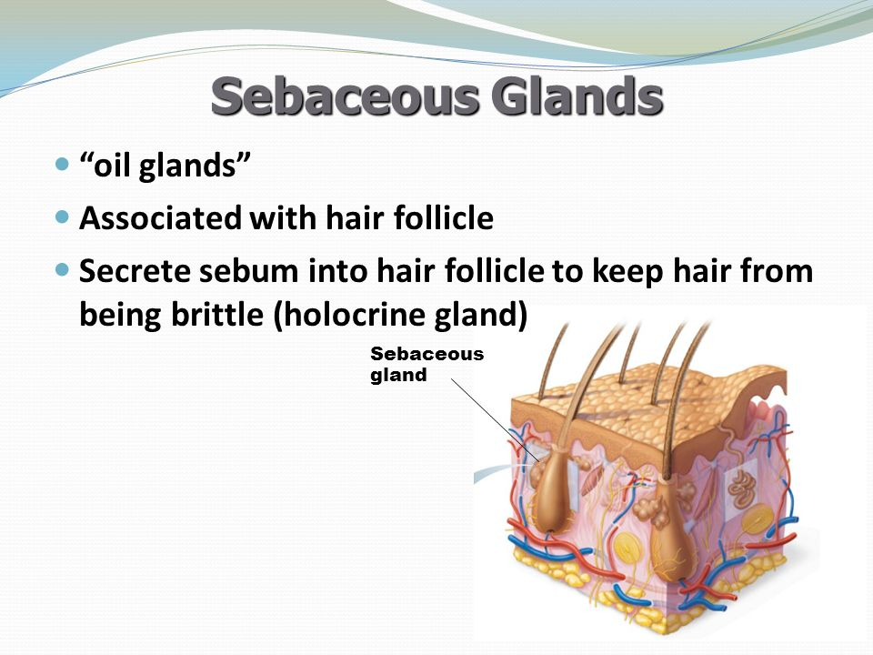 Sebaceous Glands oil glands Associated with hair follicle