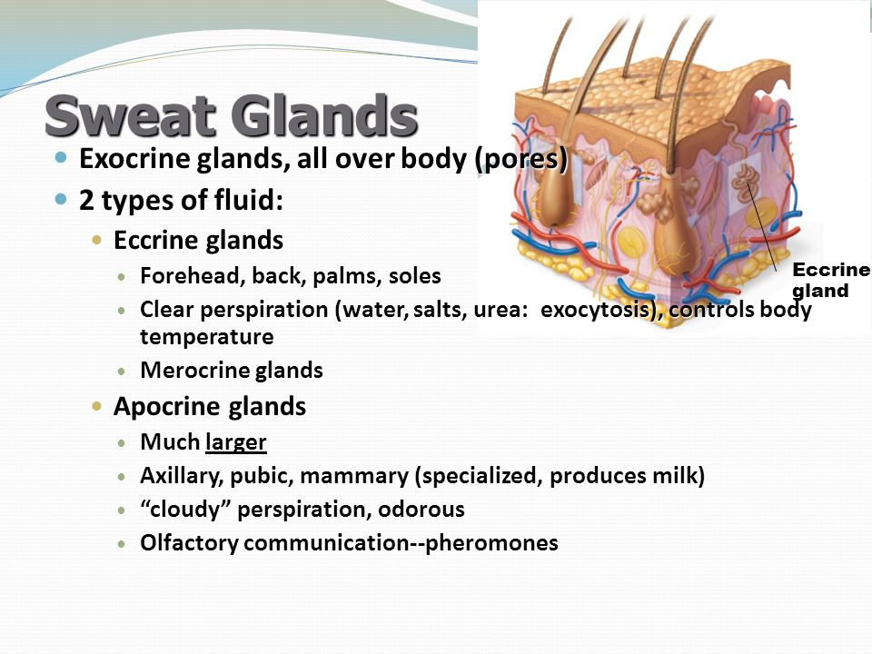 Sweat Glands Exocrine glands, all over body (pores) 2 types of fluid: