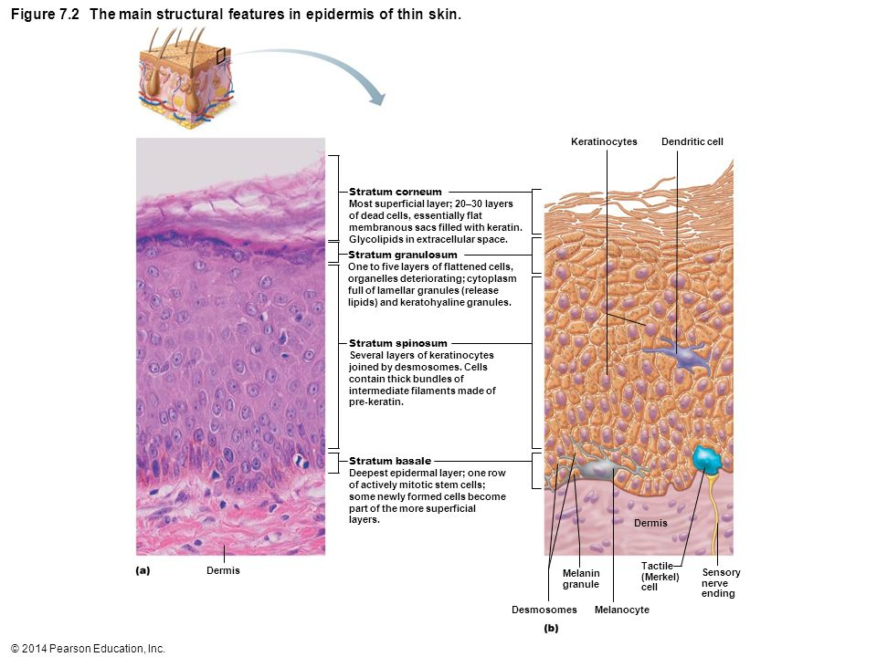 Figure 7.2 The main structural features in epidermis of thin skin.