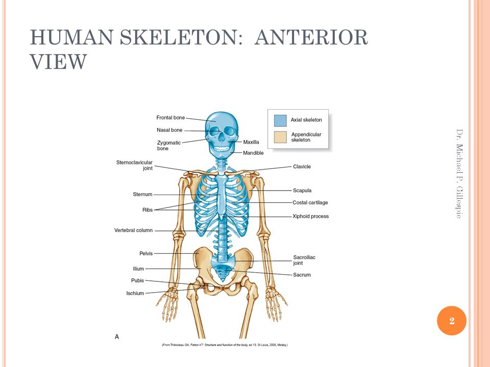 Axial Skeleton Osteology And Arthrology Ppt Download
