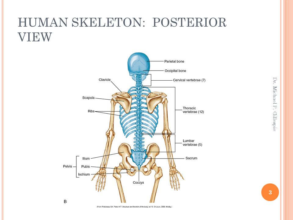 AXIAL SKELETON OSTEOLOGY AND ARTHROLOGY - ppt download