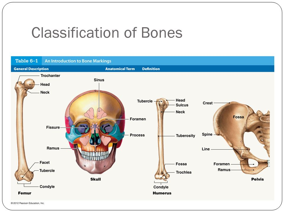 Skeletal System Lab Chapters 6 and 7 - ppt video online download