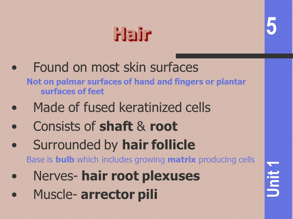 Hair Found on most skin surfaces Made of fused keratinized cells