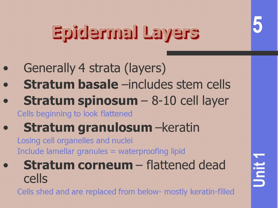 Epidermal Layers Generally 4 strata (layers)