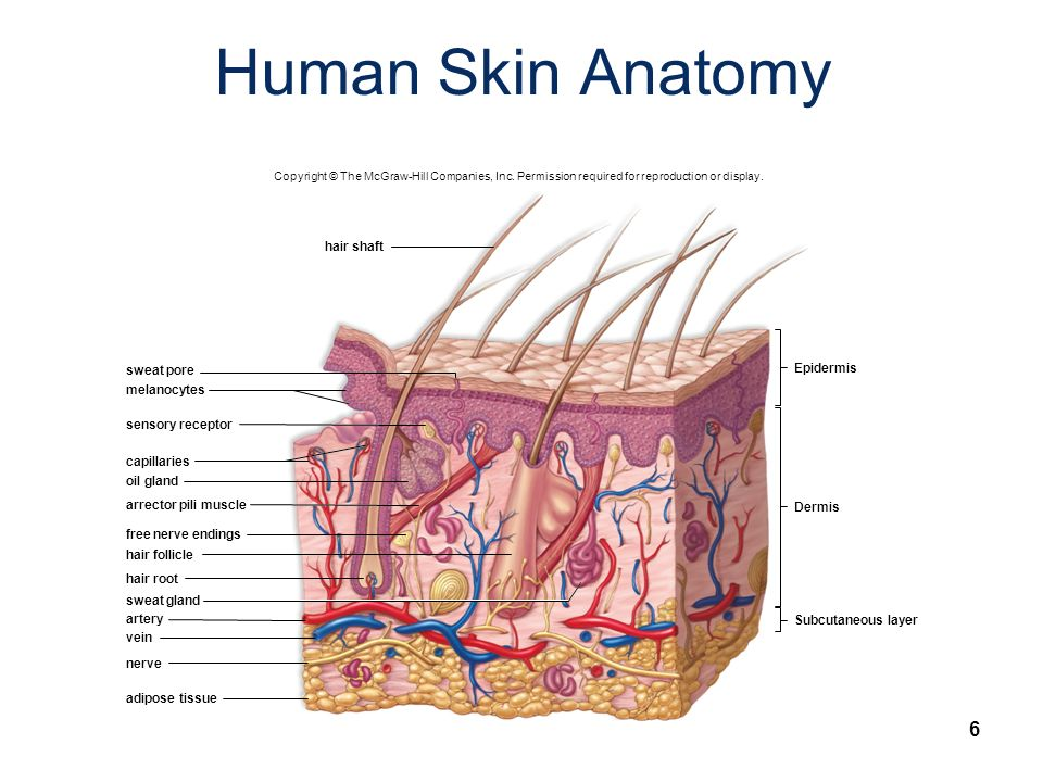 Fine Anatomy Mcgraw Hill Pattern - Image of internal organs of human ...