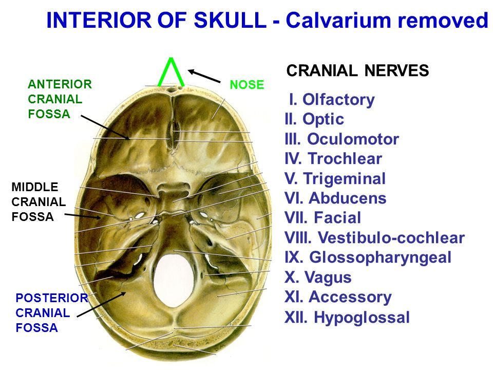 REVIEW OF HEAD AND NECK: CRANIAL NERVES, ETC. - ppt video online ...