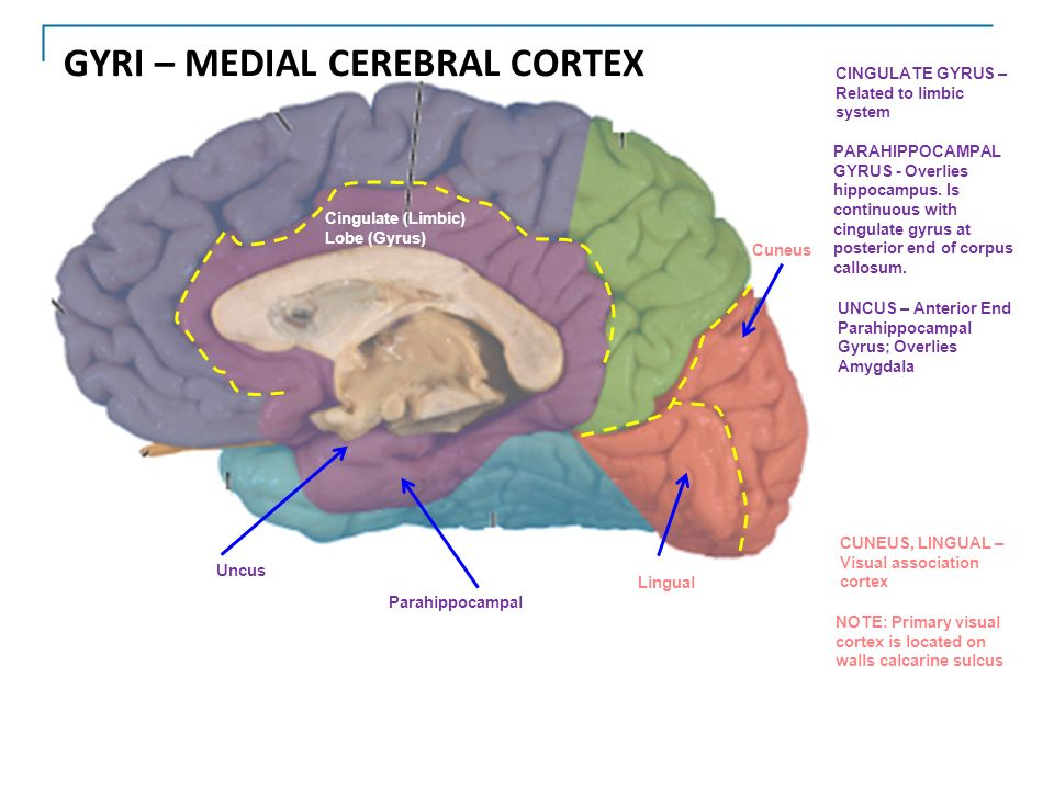 FOREBRAIN (TELENCEPHALON) - ppt download