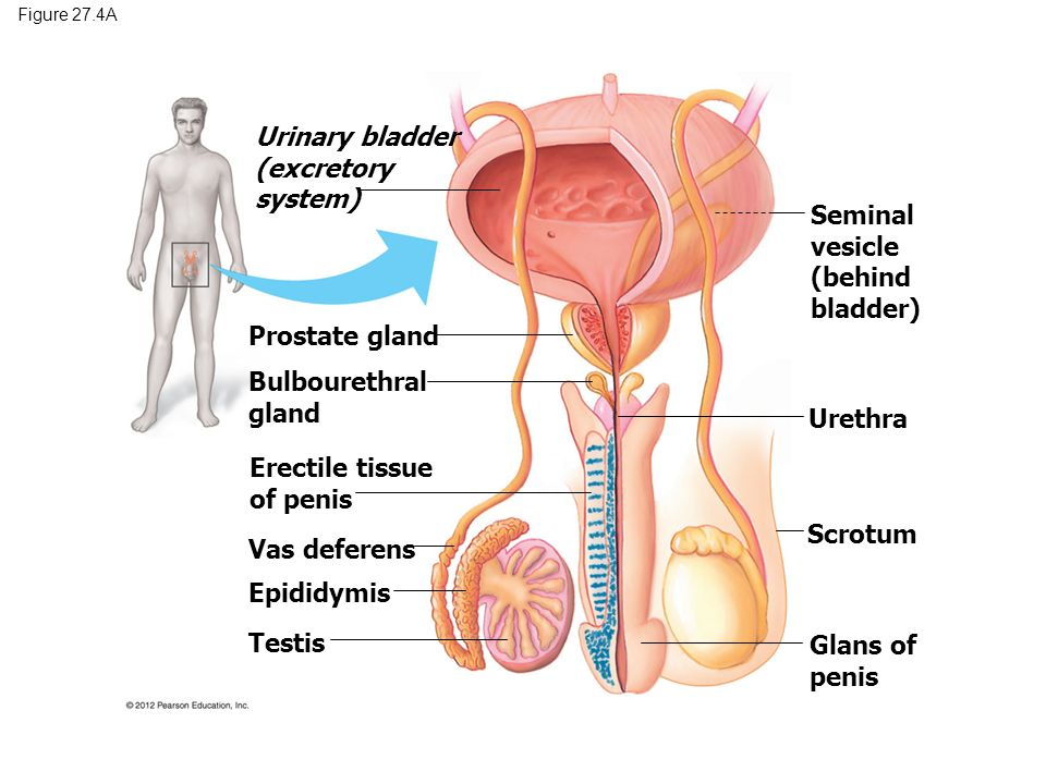 Reproductive system and development ppt video online download urinary bladder excretory system ccuart Choice Image