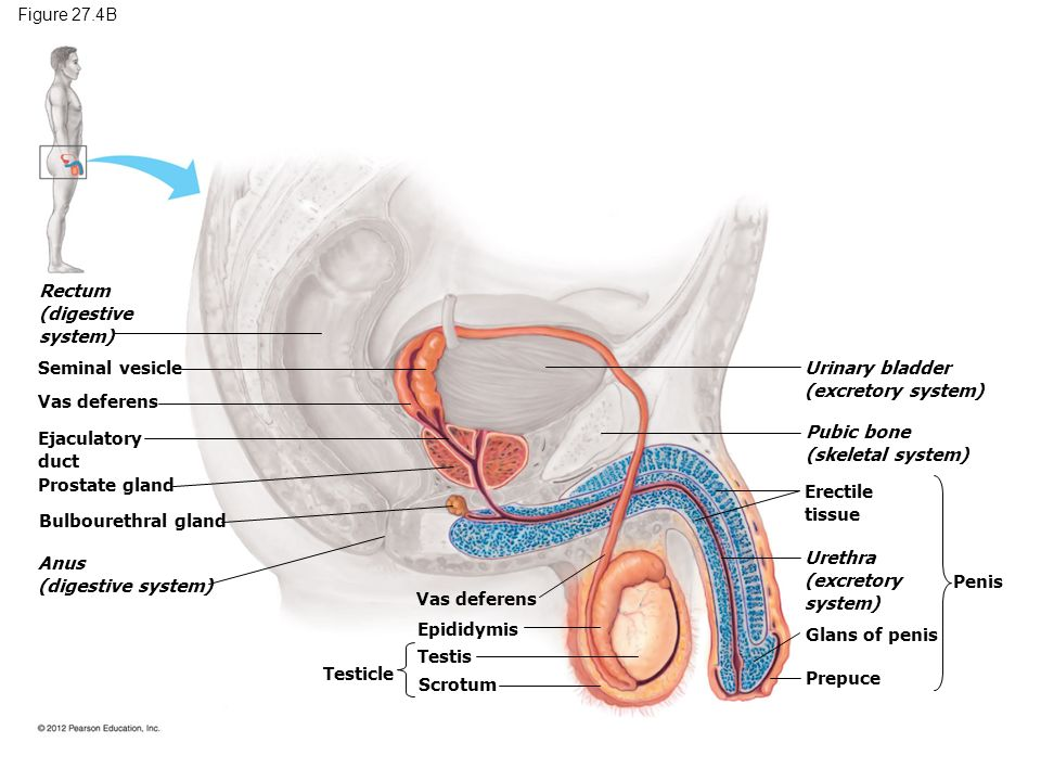 Reproductive System And Development Ppt Video Online Download