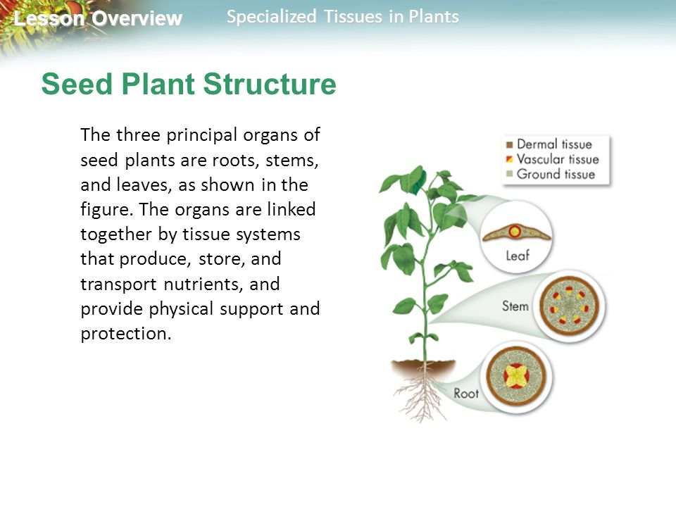 Seed Plant Structure