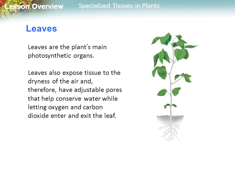 Leaves Leaves are the plant's main photosynthetic organs.