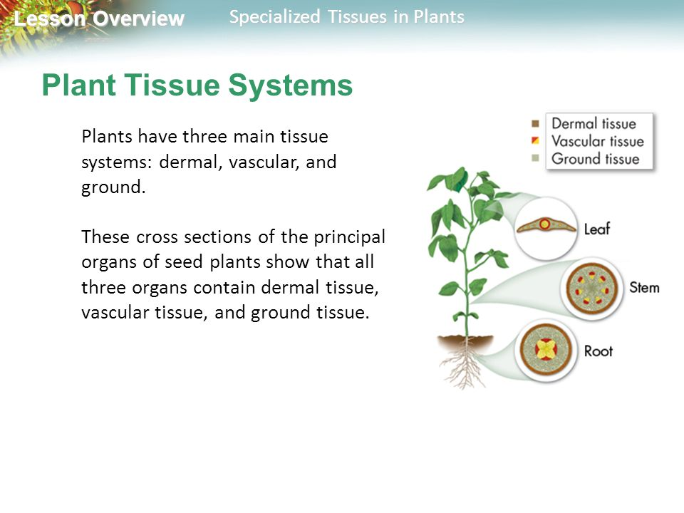 Plant Tissue Systems Plants have three main tissue systems: dermal, vascular, and ground.