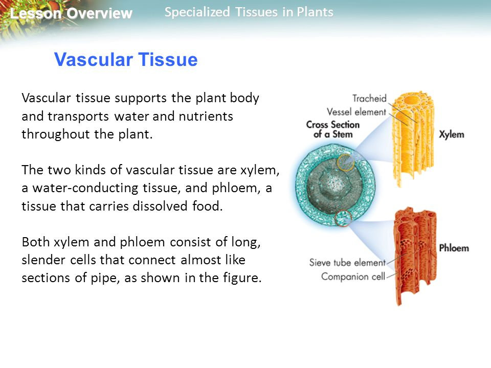 Vascular Tissue Vascular tissue supports the plant body and transports water and nutrients throughout the plant.