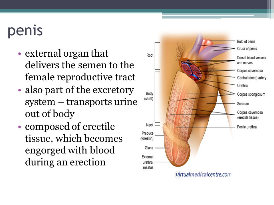 The Male Reproductive System Ppt Video Online Download