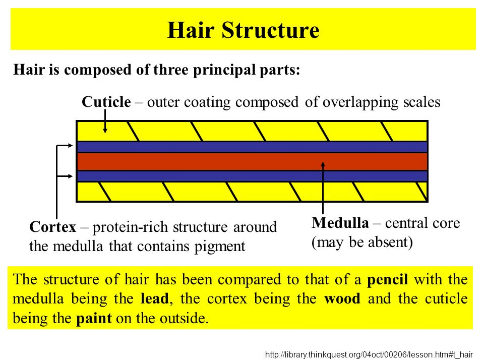 Hairs & Fibers Forensic Science - ppt download