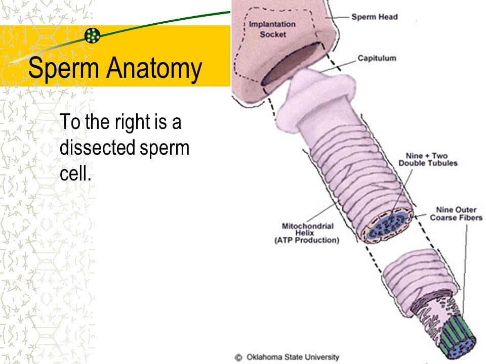 Male Reproductive Tract - ppt download