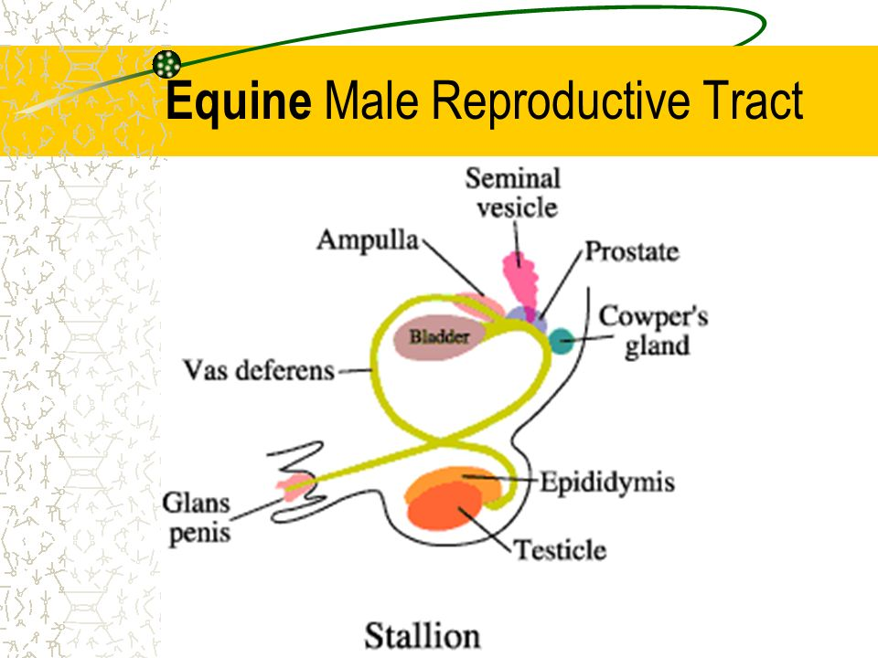 Male reproductive tract ppt download 6 equine male reproductive tract ccuart Image collections
