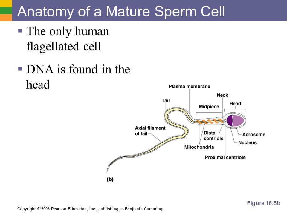 Anatomy Of A Sperm Cell Gallery - human body anatomy