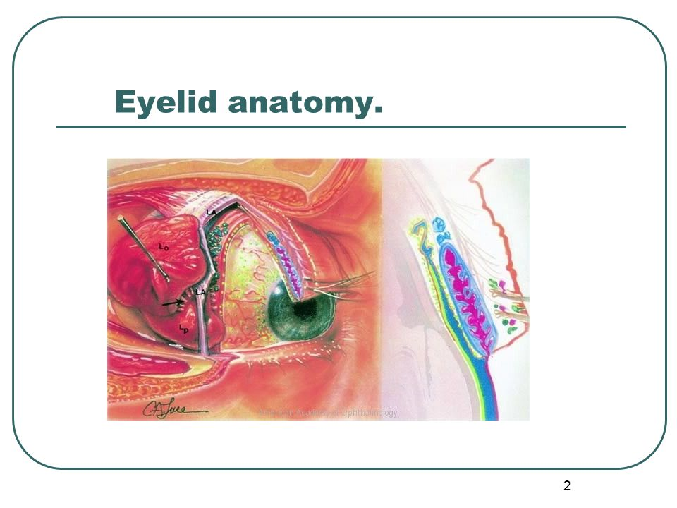 Eyelids & lacrimal apparatus - ppt video online download