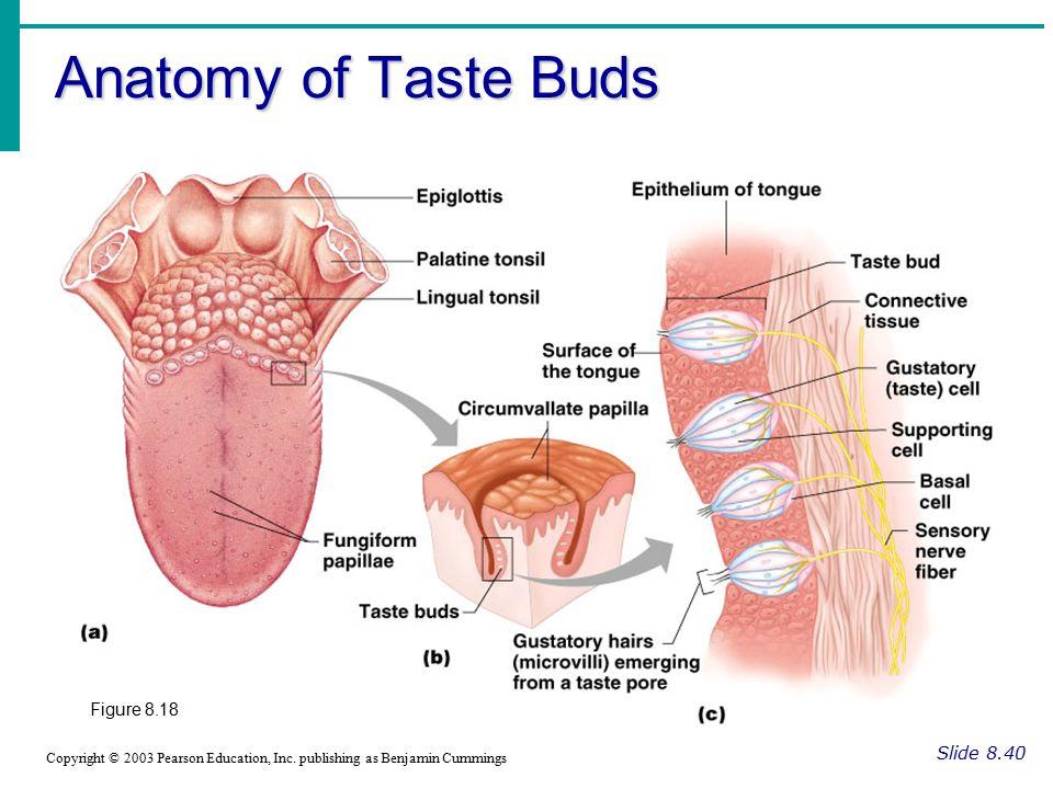 Tongue Structure Anatomy Gallery - human body anatomy